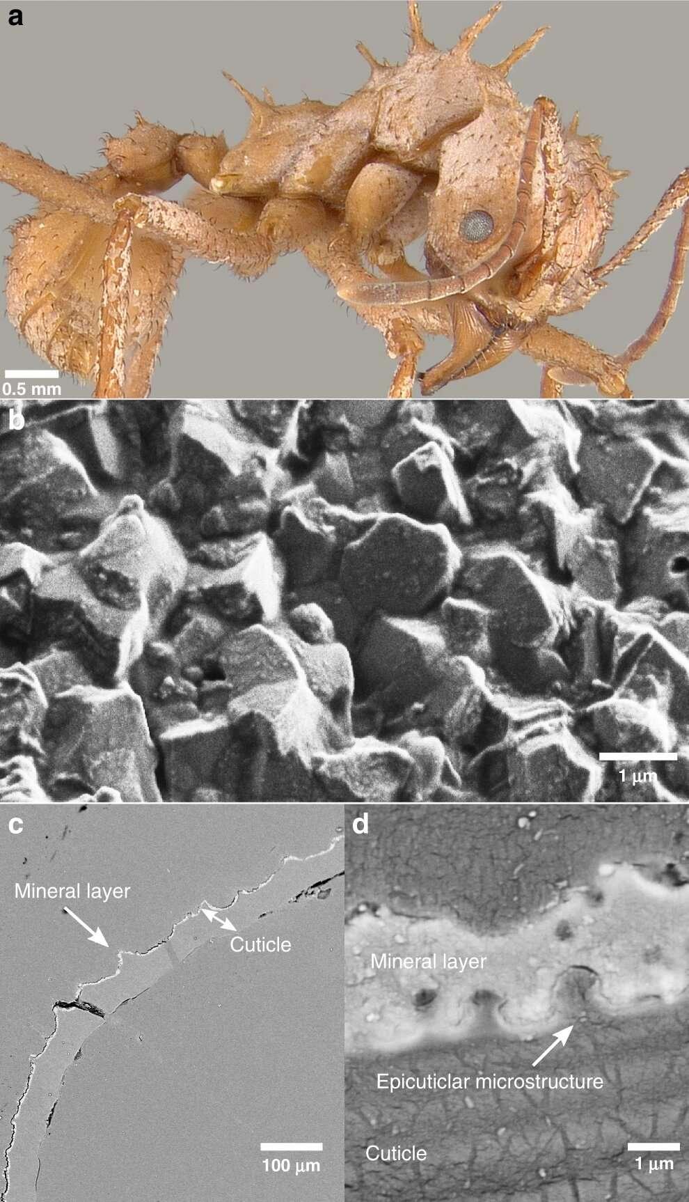 En A/ un spécimen de Ac. echinatior où l'on aperçoit la couche biominérale. B/ C/ D/ La cuticule de l'insecte avec la couche biominérale observée au microscope électronique. © Hongjie Li et al. Nature Communications