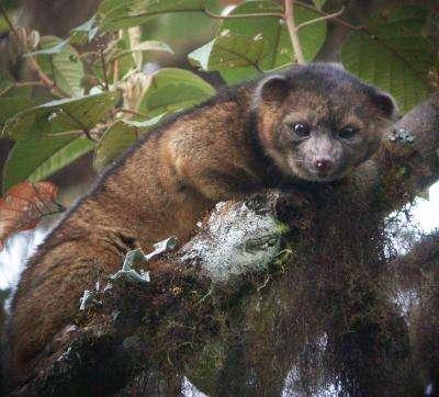 Cet animal carnivore aux grands yeux vient d'être identifié comme nouvelle espèce. Le Bassaricyon neblina est endémique aux forêts tropicales de l'Équateur et de la Colombie. © Mark Gurney, cc by 3.0