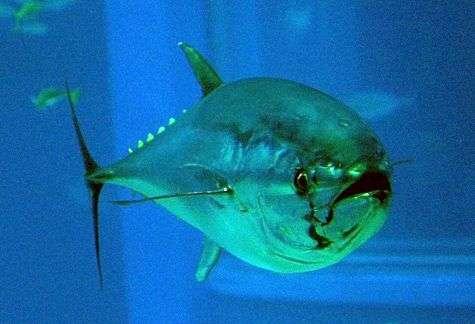 Un thon rouge en sécurité... à l'aquarium d'Osaka (Japon). Crédit NCBI Taxonomy