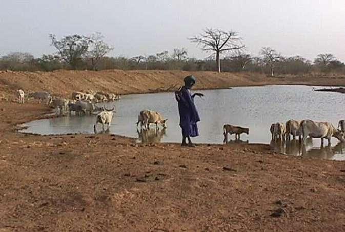 Le virus de la fièvre de la vallée du Rift touche principalement le bétail, mais n'épargne pas l'Homme. Crédits DR