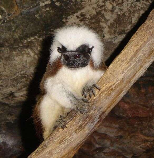 Le pinché à crête blanche est appelé cotton-top ou cotton-headed tamarin en anglais, du fait de la crinière blanche immaculée qui orne son chef. © Niligton, domaine public