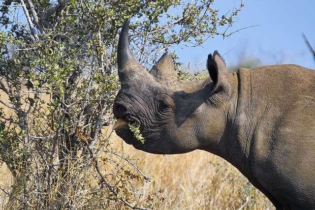 En Afrique de l'ouest, le rhinocéros noir a disparu. © Arnaud & Louise Wildlife, Flickr, cc by nd 2.0