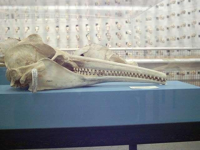 Crâne de dauphin rose d'Amazonie (Inia geoffrensis) dont on peut admirer la dentition. © TJ CC by-nc-nd