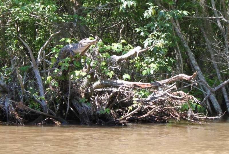 Un alligator américain (Alligator mississippiensis) s'est installé sur une grosse branche dans le delta de la Pearl River, dans le Mississippi. Ce comportement a été observé de nombreuses fois chez plusieurs espèces mais de manière occasionnelle. Il vient d'être analysé par une équipe de zoologistes. © Kristine Gingras, DR