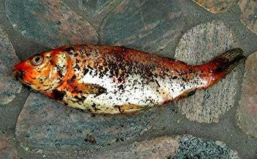 Les poissons avariés peuvent être rapidement repérés à l'odeur. Crédits DR