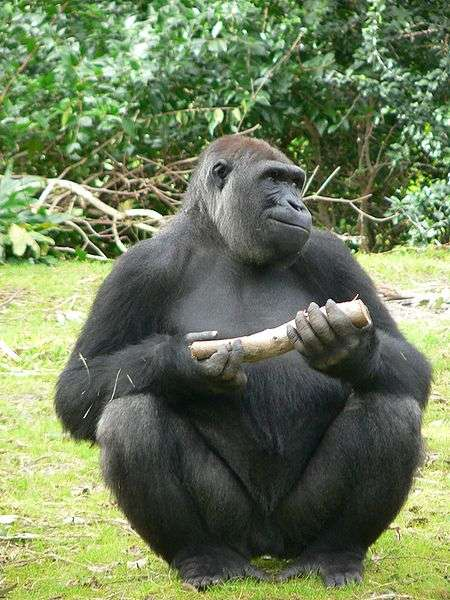 Les gorilles, au même titre que les humains, appartiennent à la famille des Hominoïdes. © Raul654 / Licence Creative Commons