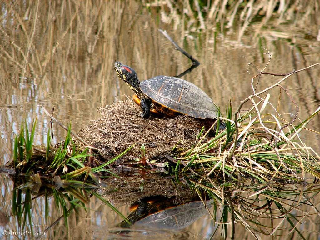 La tortue de Floride a été tellement prisée en tant qu'animal de compagnie, que ses populations sont en déclin dans son aire géographique d'origine. © Annieta, Flickr, cc by nc nd 2.0