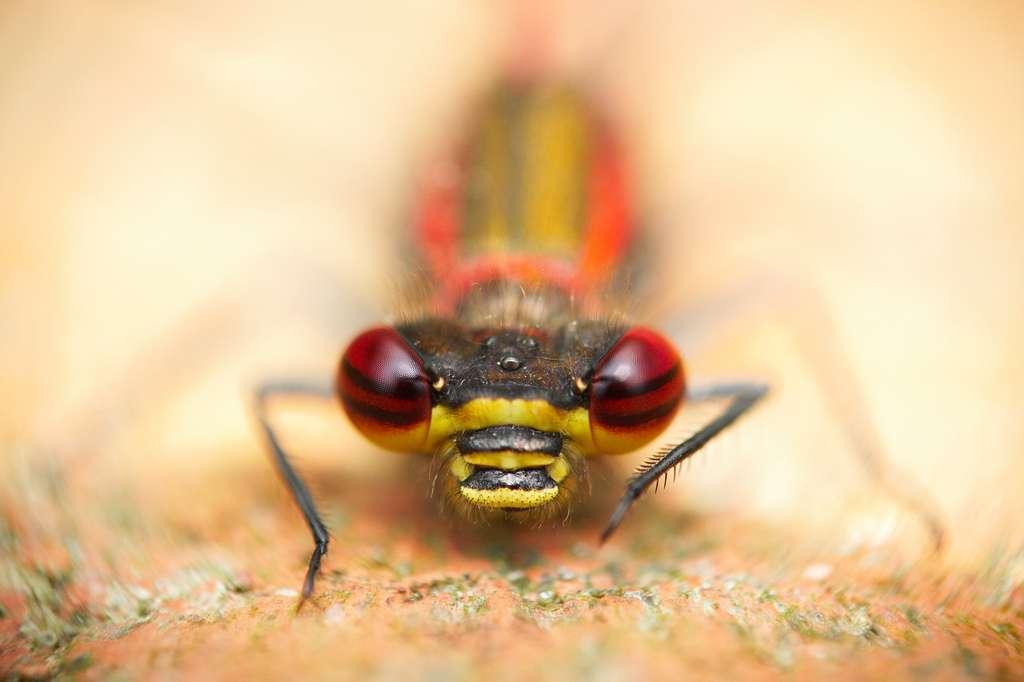 Les euarthropodes se divisent en deux grands groupes : les chélicériformes (les araignées disposent de chélicères) et les mandibulates, comme cet insecte (les insectes et les crustacés possèdent des mandibules). © -RobW-, Flickr, cc by nc nd 2.0