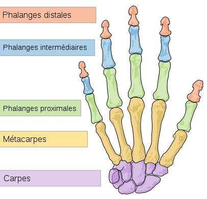 La main est constituée d'un grand nombre d'os, dont les métacarpiens. © Mariana Ruiz Villarreal, WIkimedia, domaine public