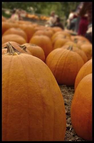La famille des Cucurbitacées est très homogène. Ses fruits sont pour la plupart de très grande taille. © jk5854