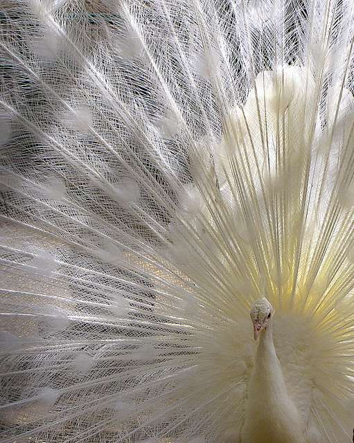 Souvent pris pour un paon albinos, le paon blanc n'en est pas un ! Mais à quoi est due sa couleur si particulière ? Réponse dans la légende de l'image, dans la galerie des animaux albinos ! © lorilafs, Flickr CC by nd 2.0