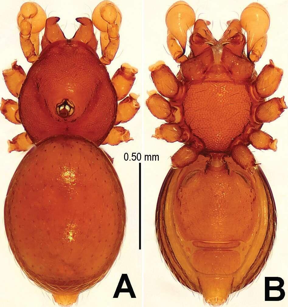 L'araignée mâle Sinamma oxycera a un tubercule sur le céphalothorax (face dorsale à gauche, face ventrale à droite). © Yucheng Lin, Shuqiang Li, ZooKeys, 2014, cc by sa 4.0