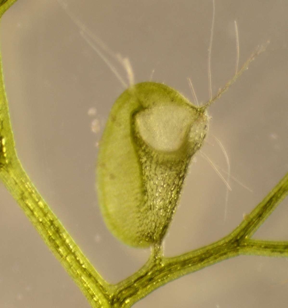 L'utriculaire (ici Utricularia vulgaris) est une plante carnivore aquatique, pourvue de pièges à aspiration pour la capture de petits animaux aquatiques. © Carmen Weißkopf