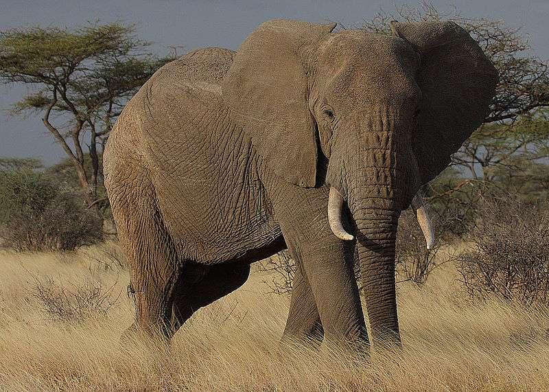 « Grand-mère, pourquoi as-tu de grandes oreilles ? » « C'est pour mieux t'entendre, mon enfant. » Les éléphants discriminent les voix d'hommes de celles des femmes et des enfants, et surtout distinguent différentes ethnies aux seuls sons qu'ils émettent. © Steve Garvie, Wikipédia, cc by sa 2.0