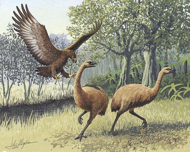 Les moas sont des oiseaux de l'ordre des Dinornithiformes. Le moa géant a disparu il y a environ 10.000 ans, par l'action combinée de la pression humaine et du changement climatique. © John Megahan, Plos Biology, cc by nc 2.5