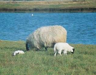 Effet de serre : un nouvel aliment empêche le bétail de produire du méthane