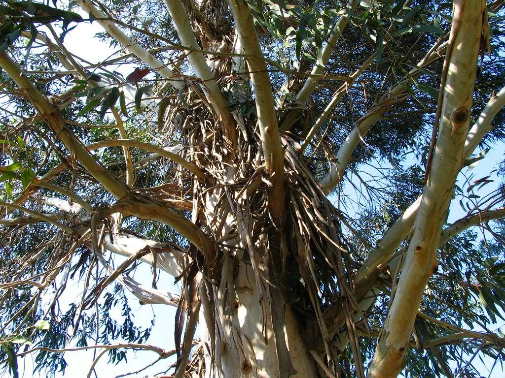 En image, un eucalyptus. Au lieu d'utiliser des solvants chimiques, favorisez l'essence de térébenthine, le terpène d'agrumes, le lactate d'éthyle ou encore la glycérine, le citron ou l'essence d'eucalyptus. © Pizzodisevo, Flickr, cc by sa 2.0