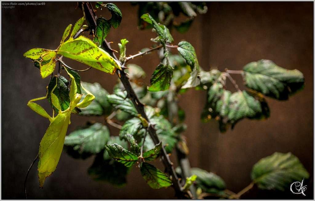 Pour survivre, les phasmes se fondent dans l'environnement en imitant des brindilles, des feuilles ou des lichens. Ce groupe d'insectes sait le faire depuis longtemps. © C.Ar Photography, Flickr, cc by nc 2.0
