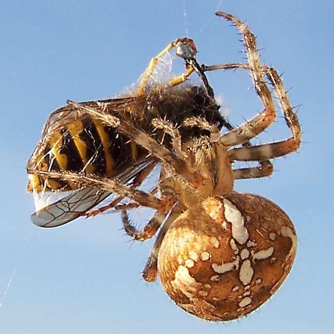 Araneus diadematus se trouve partout en Amérique du Nord et en Europe. Elle n'est pas dangereuse, sa piqûre n'aura pas plus d'effet qu'un bouton de moustique. © Jürgen Howaldt, Wikipédia, cc by sa 2.0