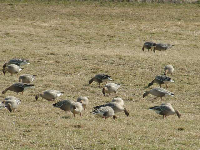 Oies à bec court glanant dans un champ. © Per Ivar Nicolaisen, Wikipédia, GNU 1.2