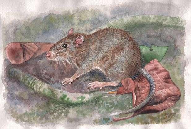 Voilà à quoi ressemblerait le rat Halmaheramys bokimekot vivant. Il faut noter la présence des poils formant des épines sur son dos (traits plus foncés) et la petite taille relative de sa queue. © Jon Fjeldså