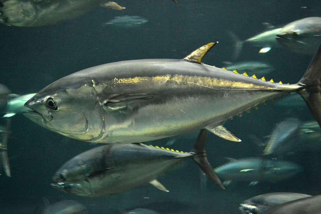 Un thon rouge du Pacifique peut atteindre 3 mètres et peser jusqu'à 450 kg. Il vit principalement entre la surface et 200 mètres de profondeur au sein du Pacifique nord. © tomosuke214, Flickr, CC by-nc-sa 2.0