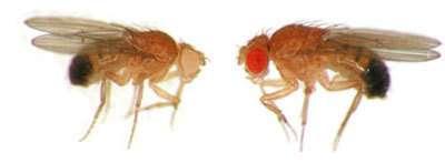 L'ecdysone, un système hormonal, est bien un frein à la croissance : quand son taux est réduit au cours du développement larvaire, on obtient un adulte de plus grande taille (à droite).© P. Léopold