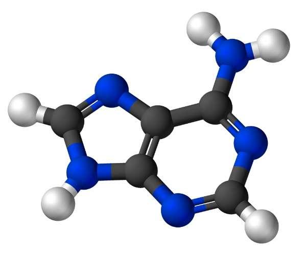 L'adénine fait partie de la famille des purines. © Wikimedia, domaine public