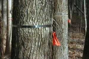 Geoffrey Parker, ses collègues et une équipe de scientifiques citoyens ont marqué plus de 20.000 arbres au Smithsonian Environmental Research Center. Ces bandes de métal se détendent avec l'accroissement du diamètre des troncs, enregistrant ainsi leur croissance. © Serc