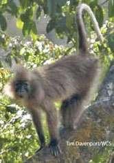 Un male adulte de l'espèce Lophocebus kipunji photographié à Rungwe. © Tim Davenport/WCS