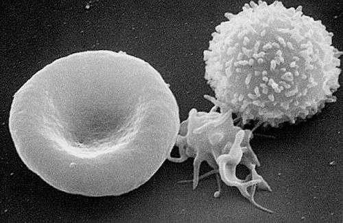 Les plaquettes (au centre) sont présentes dans le sang avec les globules rouges (à gauche) et les globules blancs (à droite). On pourra probablement bientôt les produire artificiellement et en grande quantité afin de les utiliser pour une transfusion. © Wikimedia Commons, DP