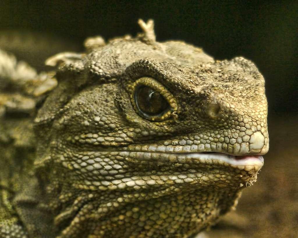 Le tuatara, terme qui rassemble deux espèces, n'est pas un lézard ni un iguane, malgré la ressemblance. Il s'agit cependant bien d'un squamate, c'est-à-dire d'un reptile à écailles, pouvant vivre près de 90 ans (selon une publication scientifique). © SidPix, Flickr, CC by 2.0