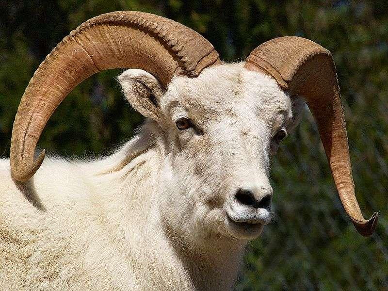 Photo d'un mouflon de Dall. © David McMaster - GNU FDL Version 1.2