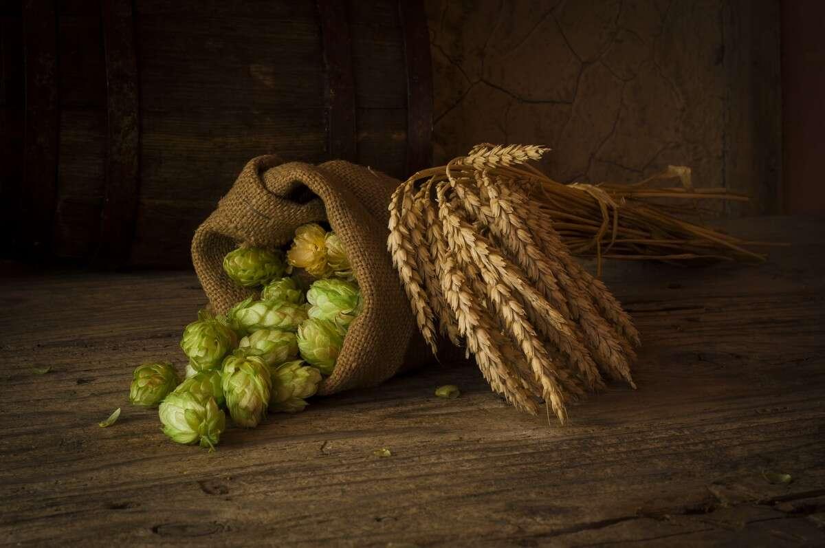 L'inflorescence femelle du houblon est la seule utilisée pour la fabrication de la bière. Kishivan, Shutterstock