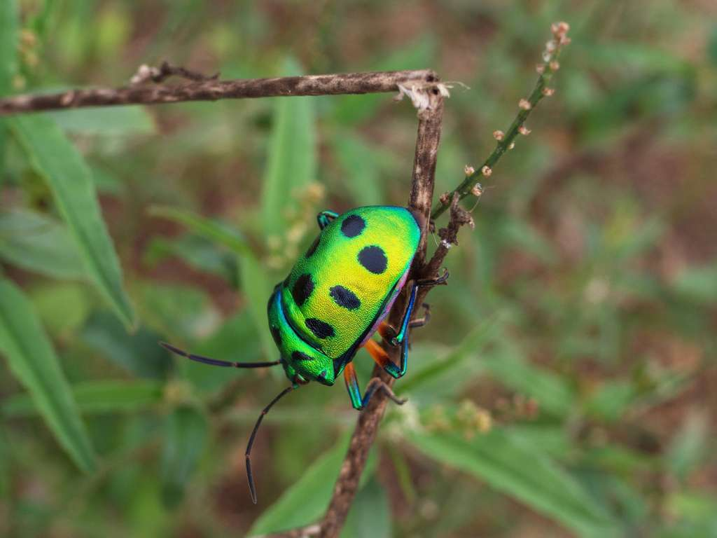 Actuellement, près d'un million d'insectes (comme cette punaise, un hémiptère hétéroptère) ont été recensés sur Terre, soit bien plus que les 100.000 arachnides, 85.000 mollusques et 45.000 crustacés. © Simo3p, Flickr, CC by-nc-nd 2.0