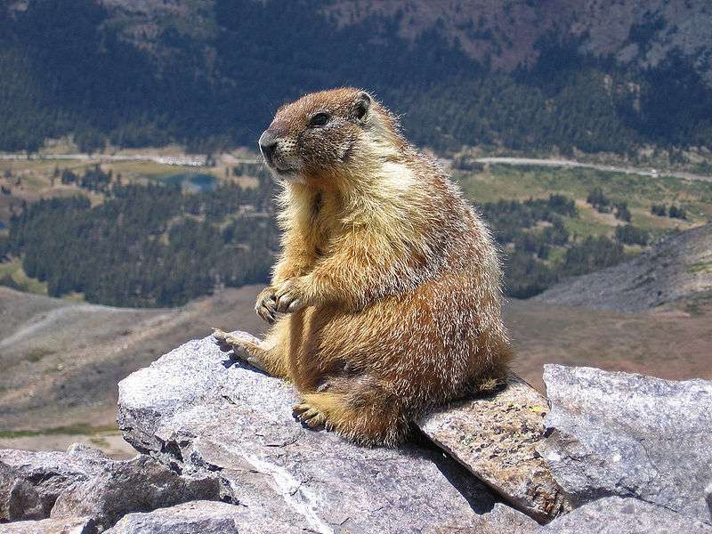 Les marmottes au ventre jaune ont augmenté leur poids de 10% en 30 ans, et leur population a triplé en 10 ans. © Inklein / Licence Creative Commons