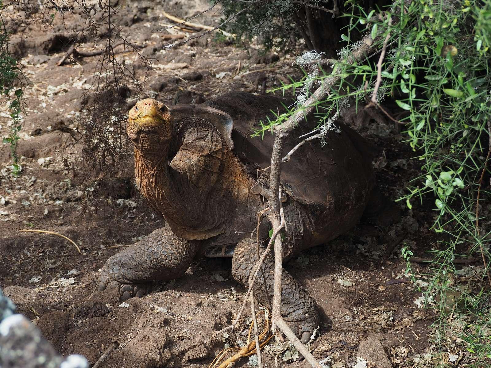 Diego, la tortue géante de l'île Española © Kaldari, Wikimedia Commons