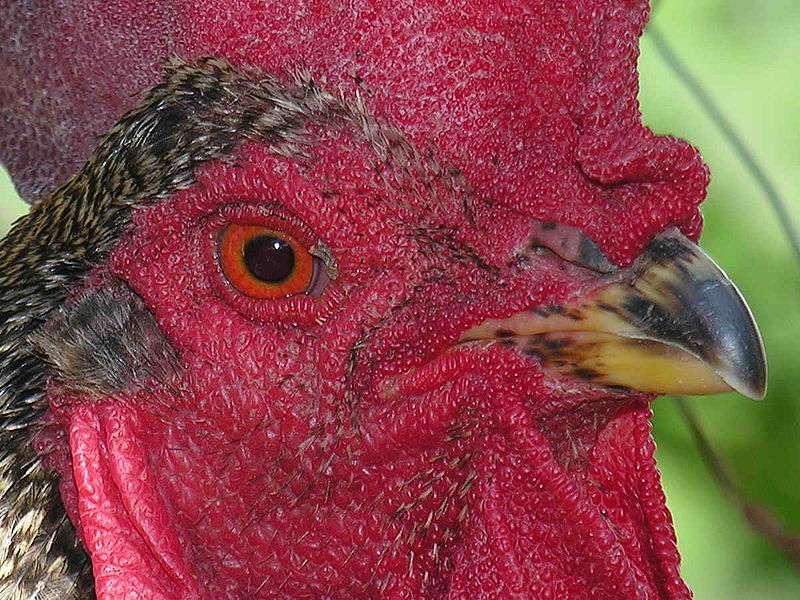 Le poulet a une bonne vision, avec pourtant une organisation de la rétine inhabituelle dans le monde animal. Cette organisation vient d'être étudiée par des chercheurs états-uniens. © Luis Miguel Bugallo Sánchez, Wikimedia Commons, cc by sa 3.0