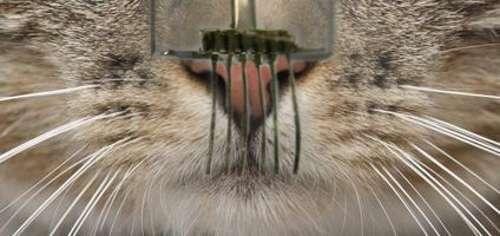 Les chercheurs de l'université de Californie à Berkeley ont créé des capteurs tactiles aussi sensibles que les vibrisses des chats. Ces « e-moustaches » pourraient notamment servir en robotique à la détection des obstacles. © Berkeley Lab, université de Californie à Berkeley