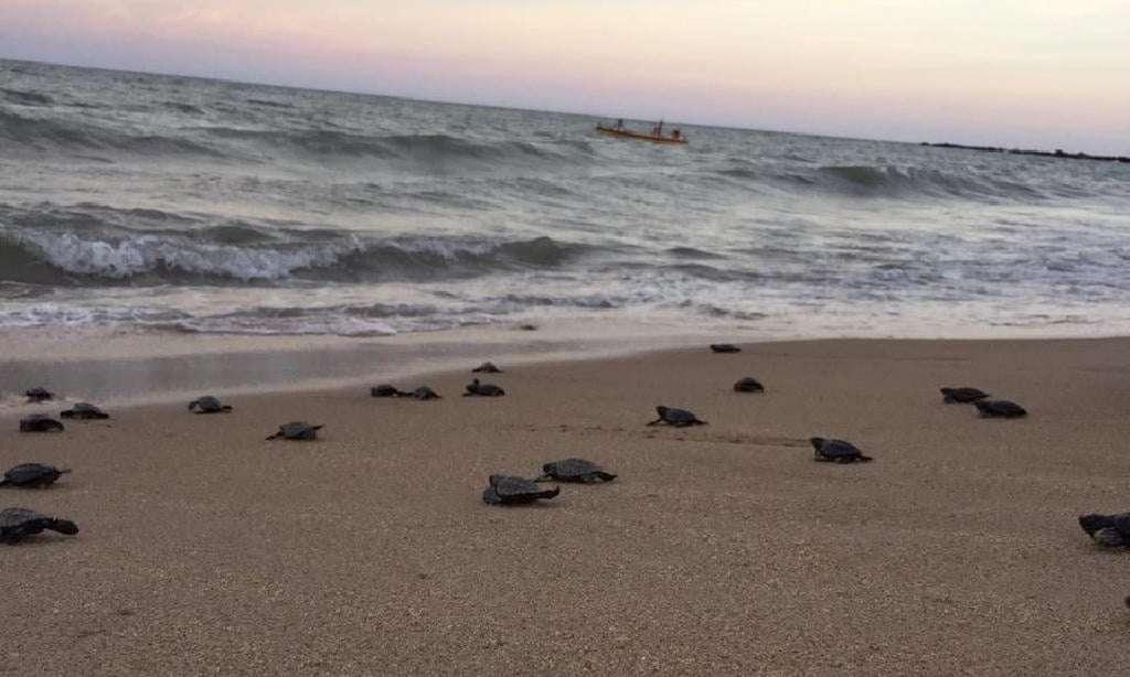 Près d'une centaine de tortues imbriquées ont rejoint l'Atlantique depuis une plage déserte de l'est du Brésil. © Mairie de Paulista