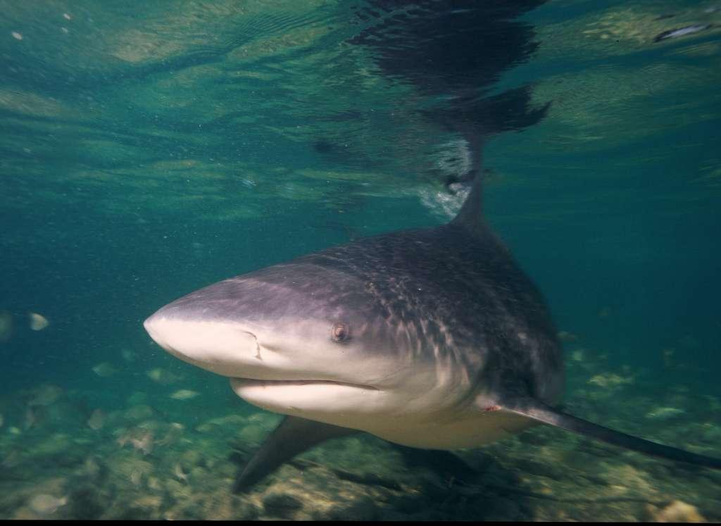 Le requin bouledogue peut atteindre 3,5 m de long et peser 110 kg. Il serait responsable de 18 % des attaques de squale mortelles répertoriées dans le monde. Il arrive en troisième position derrière le requin tigre (20 %) et le grand requin blanc (48 %). © AlKok, Flickr, CC by-nc-sa 2.0