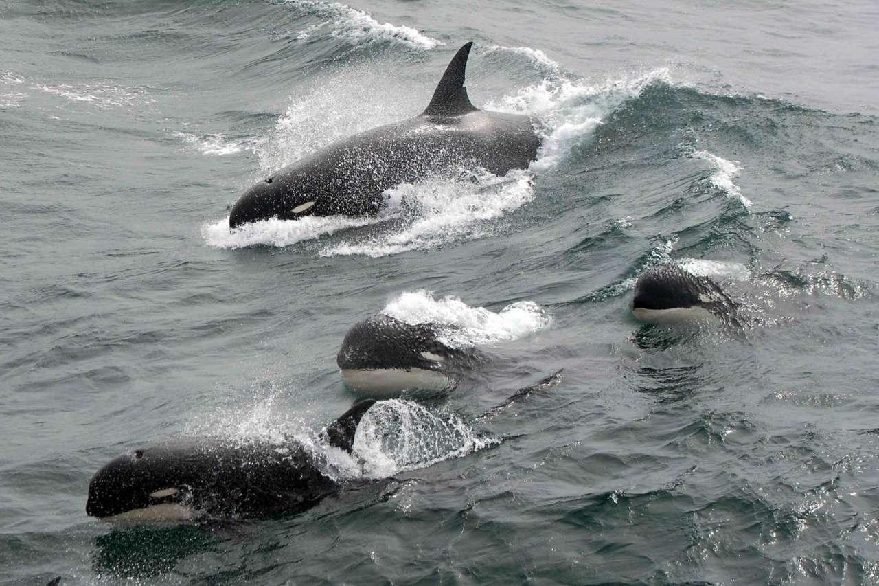 Très rare photo d'orques de type D prise en 2011. © J.P. Sylvestre, South Georgia, 2011/NOAA