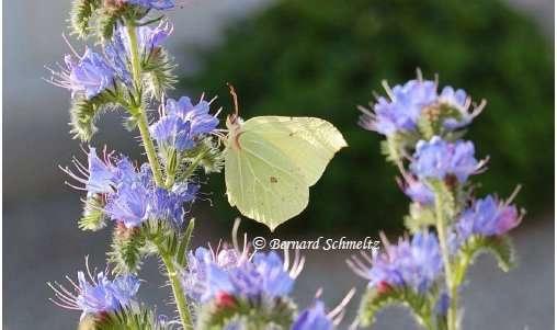 La vipérine est une plante mellifère. © Bernard Schmeltz