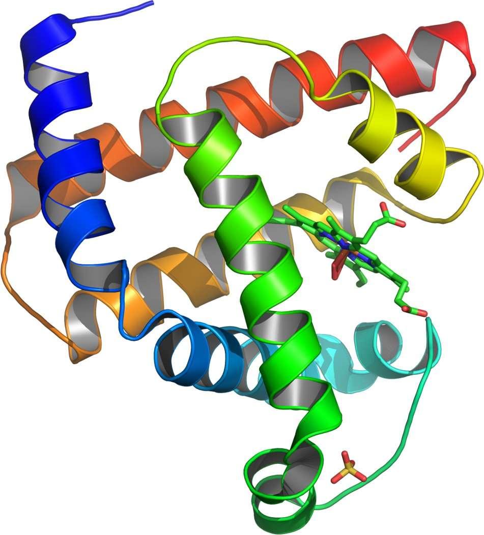 Pour être fonctionnelle, une protéine doit avoir une structure tridimensionnelle bien précise. Par exemple, la myoglobine représentée ici en 3D, est chargée de transporter l'oxygène dans le muscle, comme l'hémoglobine le fait dans le sang. Si elle est déformée, elle ne peut plus accueillir l'oxygène et les conséquences se font rapidement sentir. © Asa Thot, DP