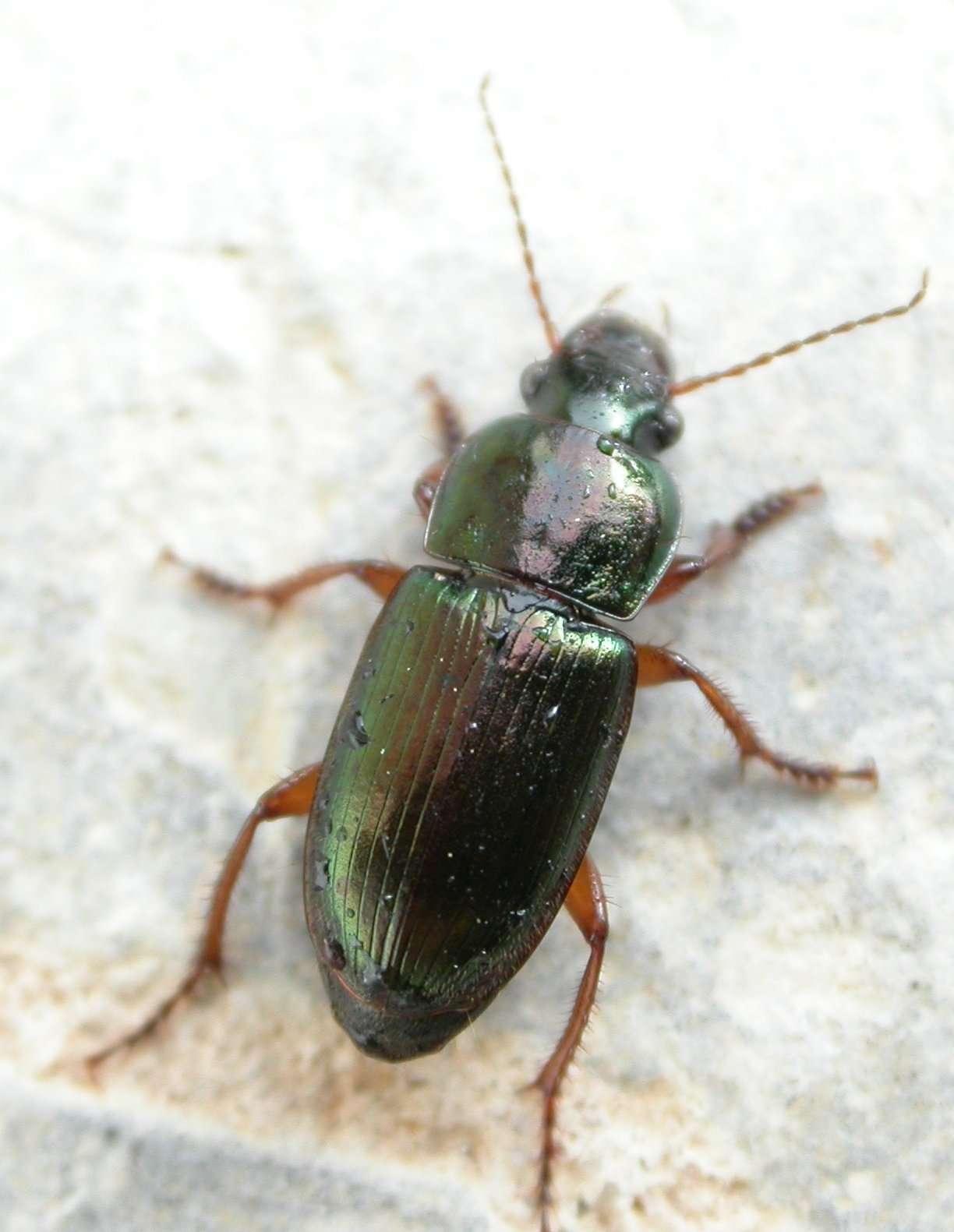 Harpalus affinis est un carabidé. © Olivier, insecte.org, cc by nc 2.0