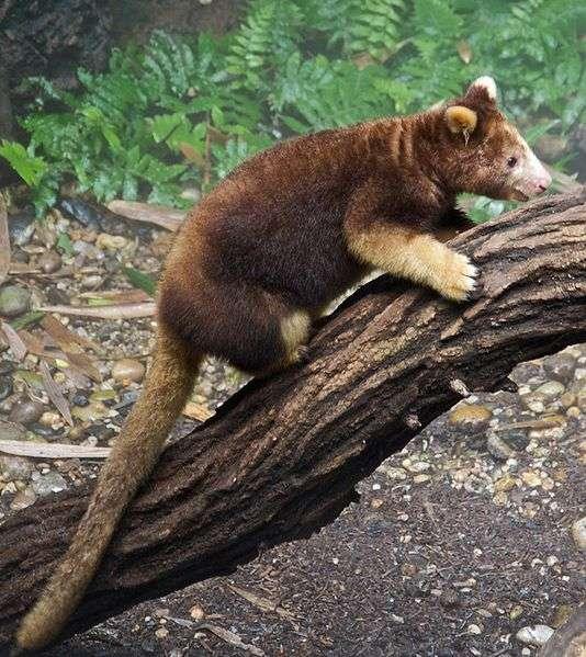 Le dendrolague est d'une agilité surprenante dans les arbres. © Fred Hsu, Wikipédia, GNU 1.2