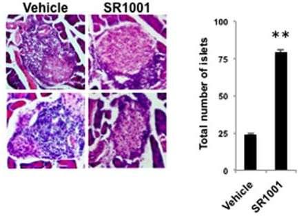 SR1001 inhibe le développement du diabète de type 1 chez la souris. Îlots de Langerhans de souris témoins (vehicle) ou traitées (SR1001). © Solt et al., Endocrinology 2015