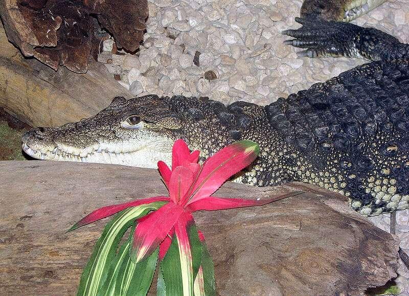 Photo d'un crocodile de Morelet. © Adrian Pingstone, domaine public
