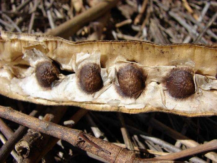 Les graines de Moringa oleifera dont sont extraites des protéines utilisées dans la première étape du traitement des eaux. © Forest & Kim Starr CC by