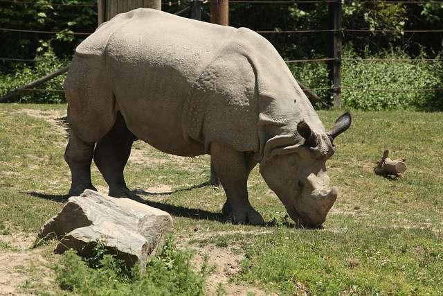 Il resterait quarante-quatre rhinocéros de Java sur Terre, tous regroupés dans un parc en Indonésie. © Chinatownchef, Flickr, cc by nc nd 2.0